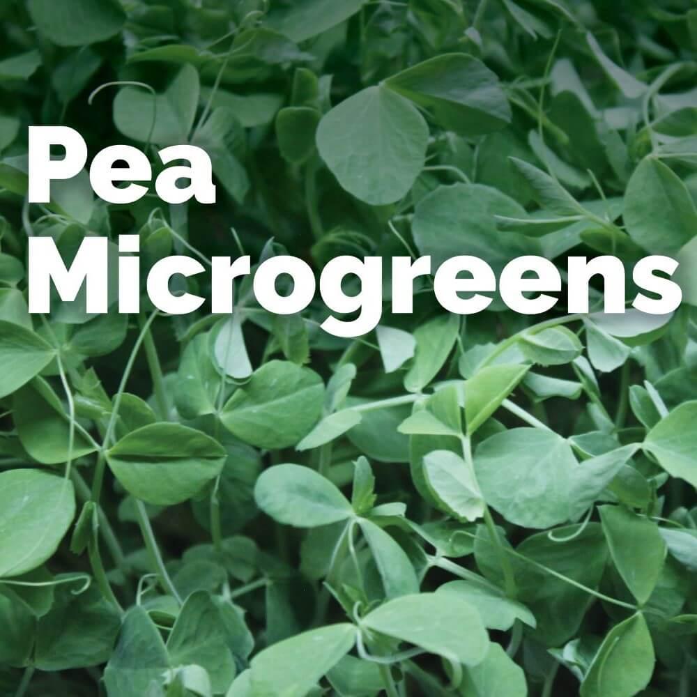 Sweet Pea - Microgreens
